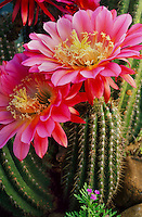 "Echinopsis 'Flying Saucers'- Canvas Giclée Print, 21"" x 32"" - $500"