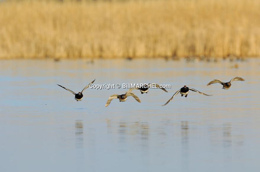 00317-015.08 Redhead Duck flock in flight low over water of marsh.   Fly, action, hunt, waterfow, wetland.