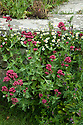 Erigeron karvinskianus and Red valerian (Centranthus ruber), Edward Lutyens steps, Great Dixter, late May.