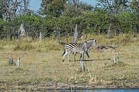 Africa, Botswana, Okavango Delta, Khwai private reserve. Zebra.