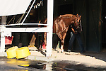 HALLANDALE BEACH, FL - JANUARY 21: Exercise rider Dhigi Gladney cools out California Chrome in the shedrow after working 5 furlongs at Gulfstream Park. (Photo by Arron Haggart/Eclipse Sportswire/Getty Images