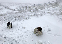 WEATHER PICTURE WALES<br /> Pictured: Two dogs play in the snow in the village of Trfil, south Wales, UK.<br /> Re: Beast from the East and Storm Emma has been affecting most parts of the UK.