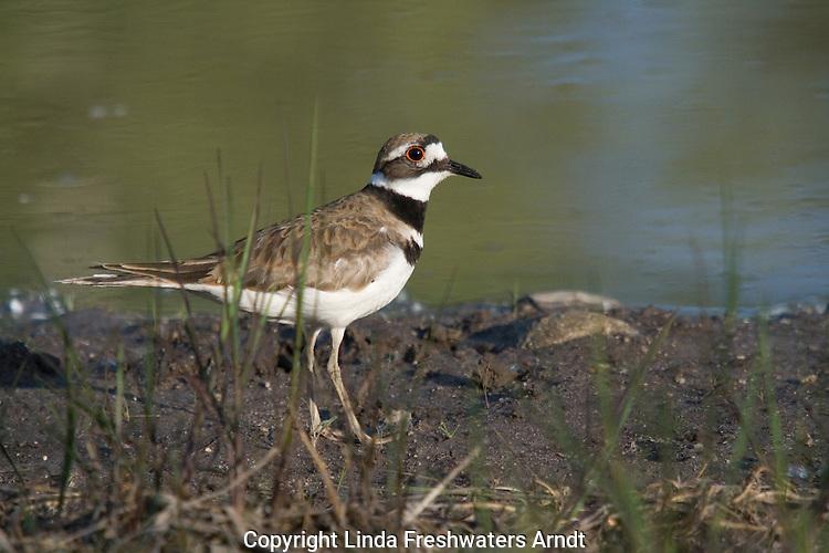 Killdeer (Charadrius vociferus) standing at the edge of a pond