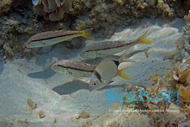 red mullet, mullidae , common banded seabream, diplodus vulgaris , Aegean sea, Mediterranean