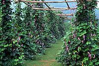Purple pole beans, trellis #5948. Virginia.