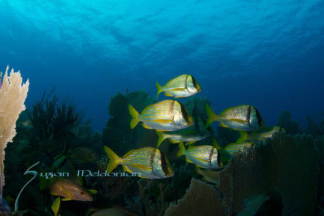 Cuba Underwater, Jardines de la Reina, Porgies-Schoolmasters scenic, Protected Marine park underwater,
