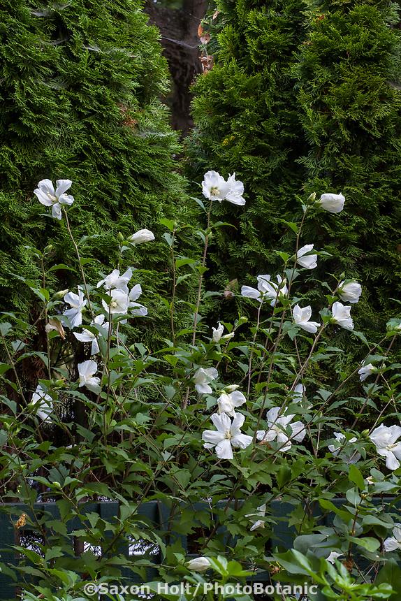 Hibiscus syriacus 'White Diana', White Diana Rose of Sharon flowering shrub in Gamble Garden, Palo Alto, California