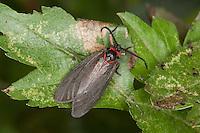 Trauer-Widderchen, Trauerwidderchen, Rheintal-Zwergwidderchen, Aglaope infausta, almond-tree leaf skeletonizer moth, l'Aglaope des haies, la Zygène des épines, la Zygène de l'amandier