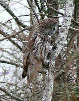 Great gray owl, note the flat face