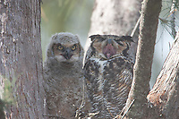 Great Horned Owl (Bubo virginianus) adult with chick in their nest, Fort Desoto Park, near St. Petersburg, Florida