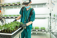 "A worker tends to cannabis plant cuttings in the clone room at the production and packaging facility for Garden Remedies, a medical cannabis producer, in Fitchburg, Massachusetts, USA, on Fri., Feb. 22, 2019. Cuttings from ""mother"" plants are harvested and replanted to create clones of productive plants. These cuttings are carefully taken care of to encourage root growth before being taken to the grow rooms at the facility."