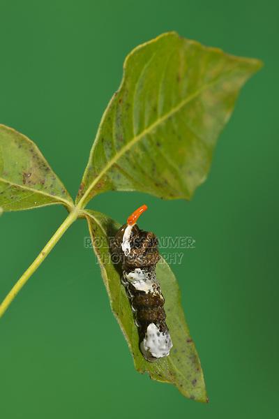 Giant Swallowtail (Papilio cresphontes), caterpillar series extending osmeterium, Hill Country, Central Texas, USA