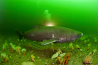 Greenland sleeper shark, Somniosus microcephalus, & diver, St. Lawrence River estuary, Quebec, Canada (this shark was wild & unrestrained; it was not hooked and tail-roped as in most or all photos from the Arctic)