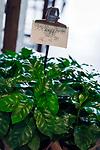 Deutschland, Oberbayern, Landkreis Miesbach, Irschenberg: Verkaufsraum der Dinzler Kaffeeroesterei AG - Kaffee-Topfpflanze | Germany, Upper Bavaria, Irschenberg: Dinzler Kaffeeroesterei AG , coffee roasting plant with sales room - potted coffea plant