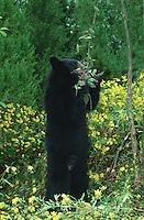 American black bear in yellow flowers