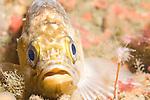 Point Loma Kelp Beds, San Diego, California; a Kelp Rockfish (Sebastes atrovirens) rest on the rocky reef