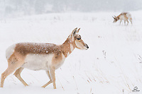 The snow was very heavy and the winds were fierce.  This female Pronghorn (Antilocapra americana) headed right into the snow and wind to join her herd.  The next day most of the herd was gone, so we assume they were gathering to migrate out of the area as a group.  Custer State Park, The Black Hills, South Dakota.