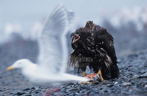 Bald Eagle, Haliaeetus leucocephalus,immature with salmon calling, Homer, Alaska, USA