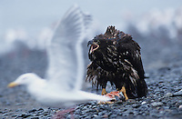 Bald Eagle, Haliaeetus leucocephalus,immature with salmon calling, Homer, Alaska, USA
