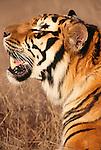 Bengal tiger (captive)