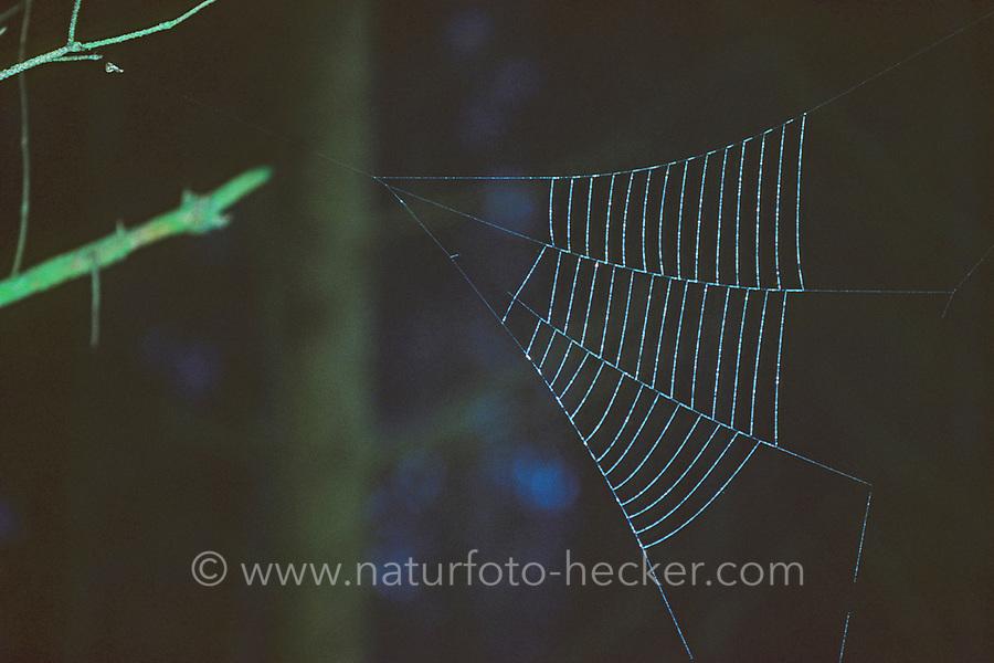 Dreiecksspinne, Dreieckspinne, Dreiecks-Spinne, Dreieck-Spinne, Spinnennetz, Netz, Hyptiotes paradoxus, Triangle spider, Kräuselradnetzspinnen, Uloboridae