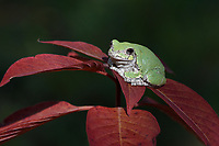 Gray Treefrog (Hyla versicolor), Hill Country, Texas, USA