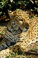CLOSE UP OF JAGUAR AT BELIZE ZOO IN CENTRAL AMERICA. BELIZE BELIZE ZOO.