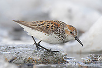 Adult Western Sandpiper (Calidris mauri) in breeding plumage foraging on river ice. Seward Peninsula, Alaska. May.