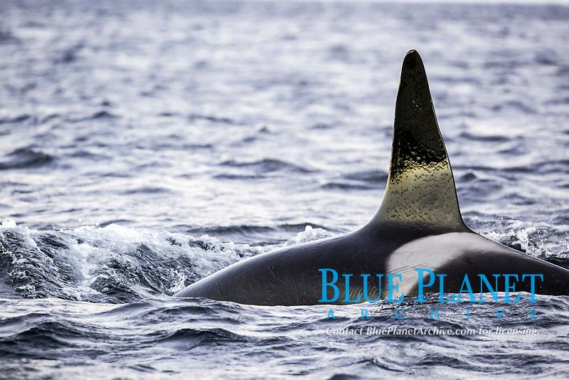 killer whale or orca, Orcinus orca, surfacing, Andenes, Andoya Island, Norway, Atlantic Ocean