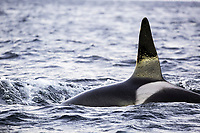 killer whale or orca, Orcinus orca, surfacing, Andenes, Andoya Island, Norway, Atlantic Ocean