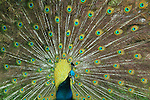 A peafowl displays his beautiful tail feathers.