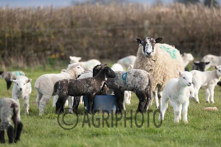 25-3--2021 Ewe with lambs<br /> ©Tim Scrivener Photographer 07850 303986<br />      ....Covering Agriculture In The UK....
