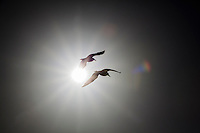 Two gulls in silhouette fly past a sunburst with lens flare.  Room for text along vertical side.