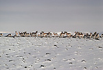A herd of pronghorn antelope stand together in the snow.