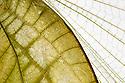 Wing detail of Katydid / Predatory Bush Cricket (Tettigoniidae). Museum specimen, origin unknown. website