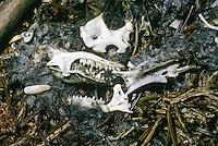 Waldohreule, Gewölle, Eulengewölle, Speiballen aus unverdaulichen Nahrungsresten, zerfallen mit sichtbaren Knochen und Schädel, Waldohr-Eule, Eule, Asio otus, long-eared owl