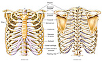 Thoracic (Chest and Back) Skeletal (Skeleton) Anatomy featuring the ribs, sternum, scapula and vertebrae.