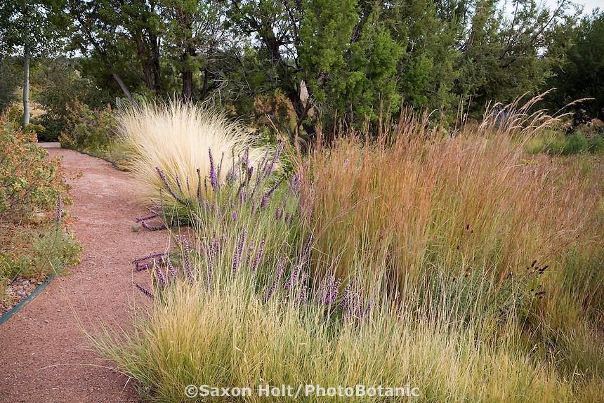 Path through naturalistic drought and heat tolerant dryland grass meadow garden with Sideoats Grama (Bouteloua curtipendula) fore, Little Bluestem (Schizachyrium scoparium), and Feather grass (Nassella tenuissima) rear