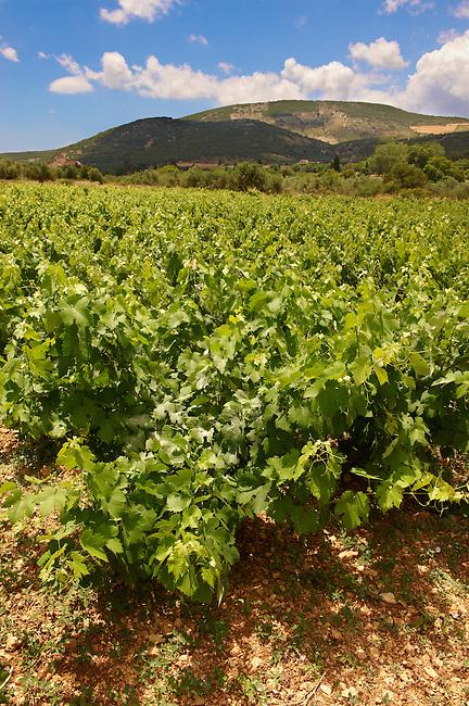 Unique Robola Grape Vineyards of Kefalonia, Ionian Islands, Greece.