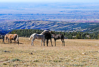 Wild horse colts at play.