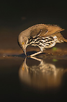 Long-billed Thrasher (Toxostoma longirostre),adult drinking, Rio Grande Valley, Texas, USA