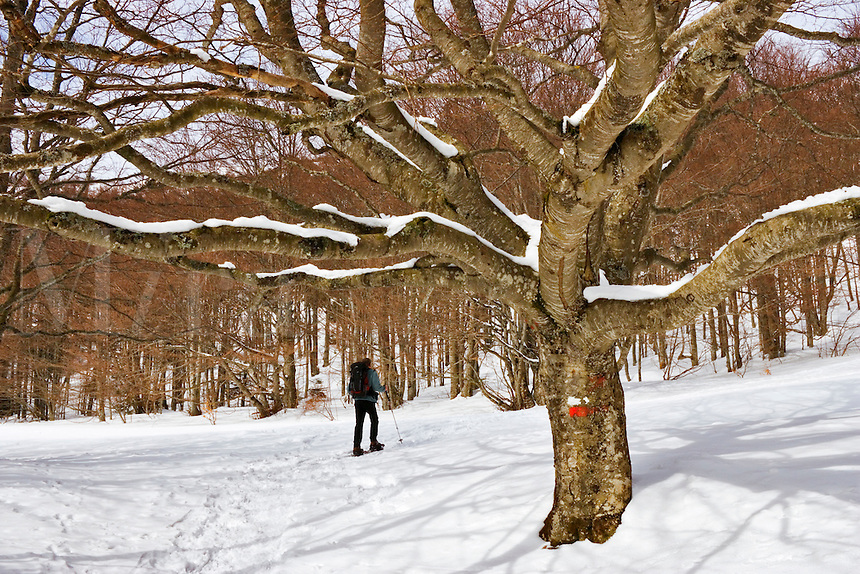 Walker on snow shoes passes a large beech tree bearing the signs for the GR93, one of France?s long distance footpaths.  Chironne, Col de Rousset, Vercors Plateau. Diois, Drome, Rhone-Alpes, France.