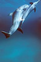 Atlantic bottlenose dolphin, Tursiops truncatus, attempts to mate with Atlantic spotted dolphin, Stenella frontalis, Bahamas, Caribbean Sea, Atlantic Ocean