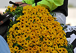 09 May 15: A blanket of Black-Eyed Susans are given to Payton d'Oro and Terry Thompson after winning the grade 2 Black-Eyed Susan Stakes at Pimlico Race Track in Baltimore, Maryland.