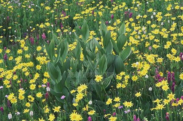 Wildflowers in alpine meadow,Heartleaf Arnica,Arnica cordifolia,False Hellebore,Indian Paintbrush, Bistort, Ouray, San Juan Mountains, Rocky Mountains, Colorado, USA