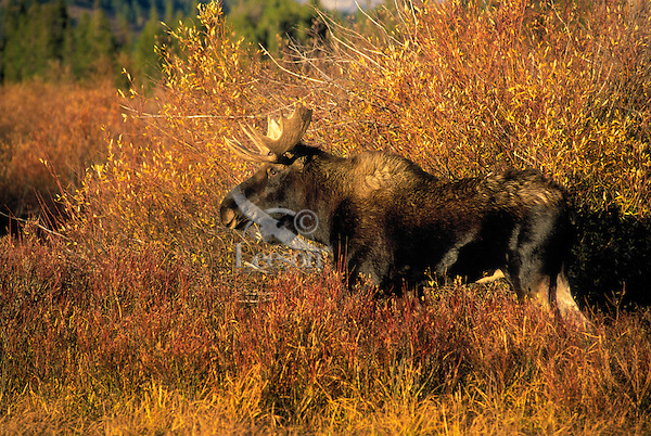 """BULL MOOSE (Alces alces).  The name 'moose"""" is derived from the Algonkian name that means """"eater of twigs"""".  Autumn. Rocky Mountains..Grand Teton National Park, Wyoming. U.S.A. ."""