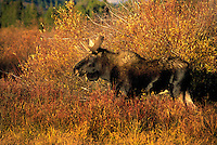 "BULL MOOSE (Alces alces).  The name 'moose"" is derived from the Algonkian name that means ""eater of twigs"".  Autumn. Rocky Mountains..Grand Teton National Park, Wyoming. U.S.A. ."