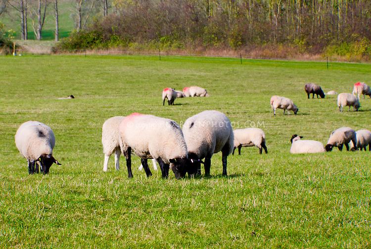 Sheep farm animals grazing in grass pasture field meadow, marked, mammals, marked