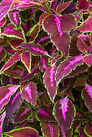Solenostemon (Coleus) 'Miss Pilkington', hot pink magenta and green edged annual foliage plant leaves
