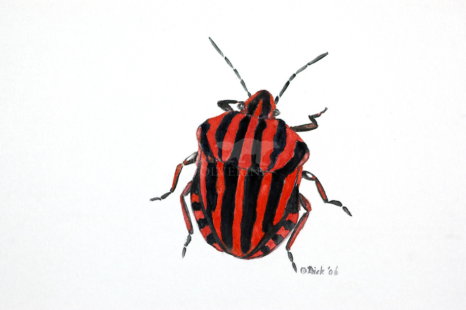 Pyamawants (Graphosoma lineatum)